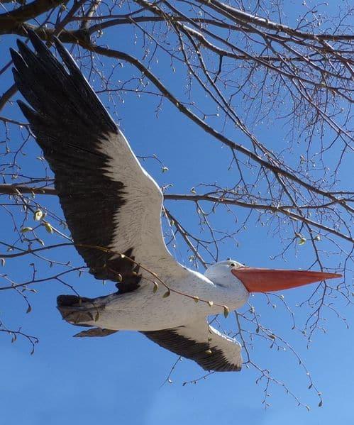 Pélican en vol, bel oiseau aux ailes déployées, grande envergure