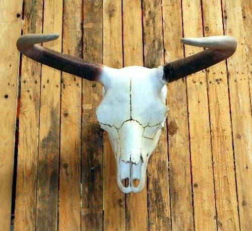 Crâne de vache américaine